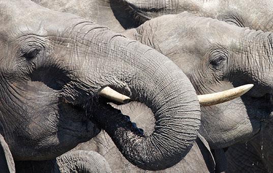 tribe of elephants