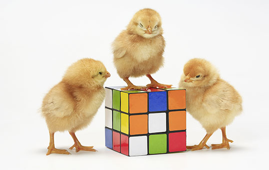 chicks on rubix cube